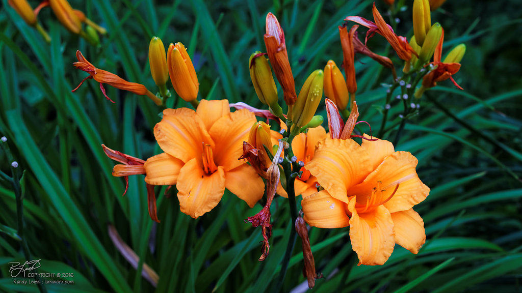 Yellow Daylillies 1