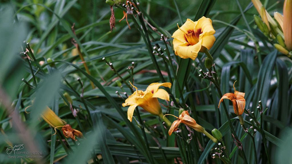 Yellow Daylillies 2