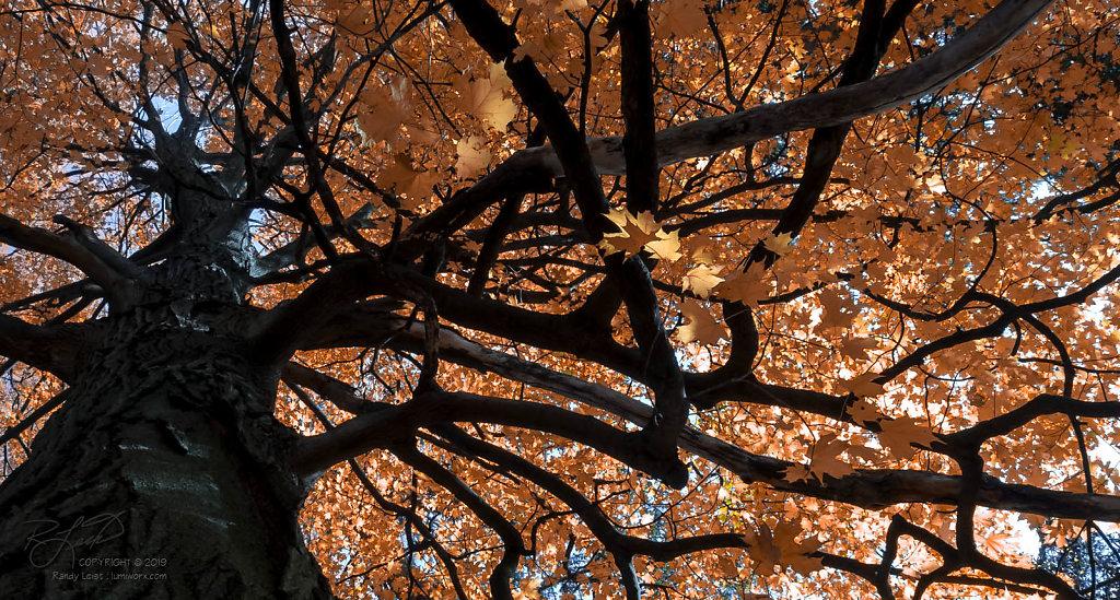 UpTree Maple [Color]